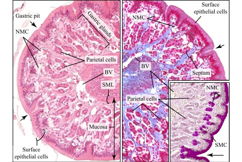 Histological Sections Of The Mucosa Of Frog Stomach Atlas Of