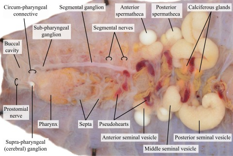 Organs in the anterior end of an earthworm · Atlas of Animal Anatomy ...