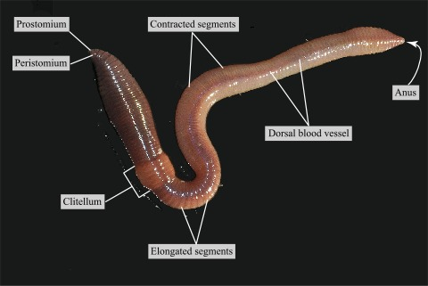 Dorsal view of a live earthworm · Atlas of Animal Anatomy and Histology