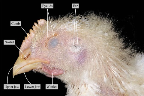 The head of a chicken · Atlas of Animal Anatomy and Histology