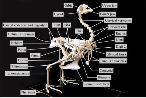 Chicken skeleton anatomy