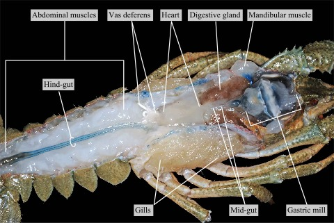 Internal organs of the crayfish after removal of the carapace and ...