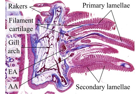 Histological Sections Of Fish Gill Cross Sections Azan Atlas Of