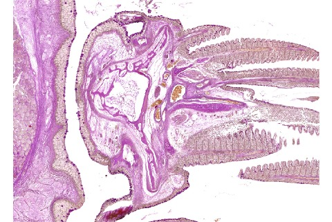 Histological Sections Of Fish Gill Cross Sections Tri Pas Atlas