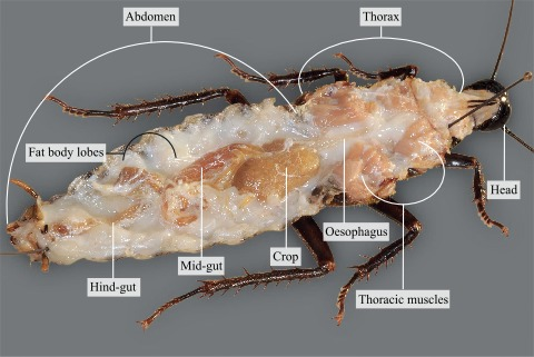Dorsal view of the internal organs of a cockroach before water cover dorsal view of the internal organs of a cockroach before water cover ccuart Images