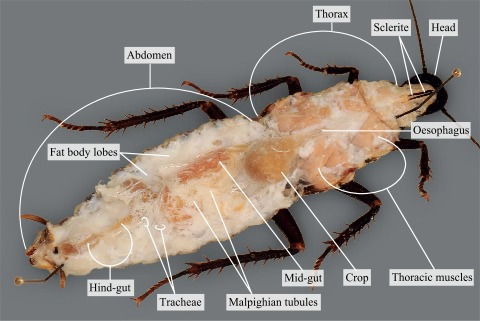 The internal organs of a cockroach covered with water · Atlas of ...