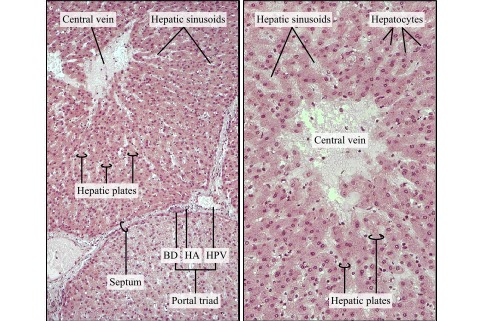 Histological Sections Showing The Main Elements Of The Hepatic