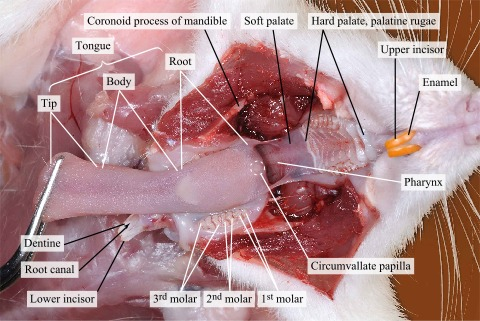 Widely Opened Mouth Of The Rat By Cutting The Muscles And The Jaws