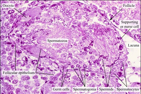 Histological section of the hermaphrodite gland (HE) · Atlas of ...