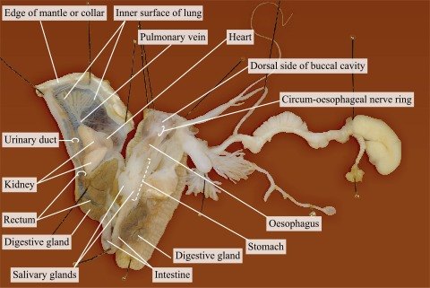 Completely Dissected Snail In Water Cover Atlas Of Animal Anatomy